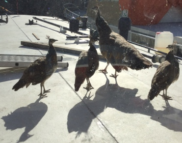 Besides its crew of welders and mechanics , Tinnemans sports a menagerie of penned and free range animals. These folks visit our deck every day.
